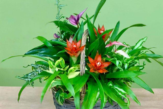 観葉植物グズマニアギャザリング