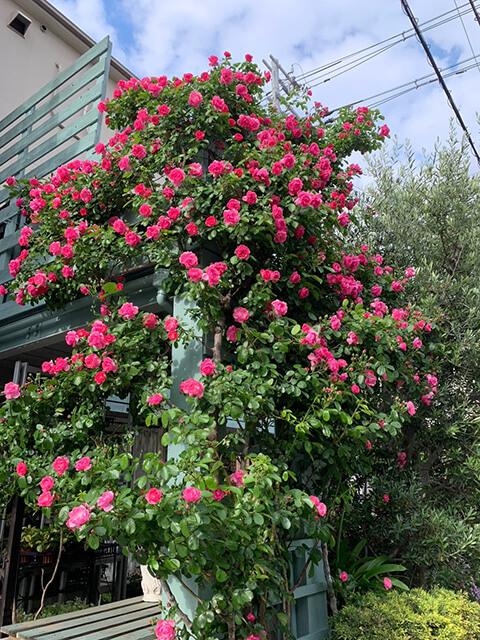 美しいバラの写真